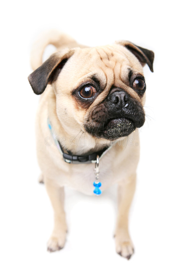 Download Pug Mug stock photo. Image of collar, mammal, dogs, puppy - 4764452