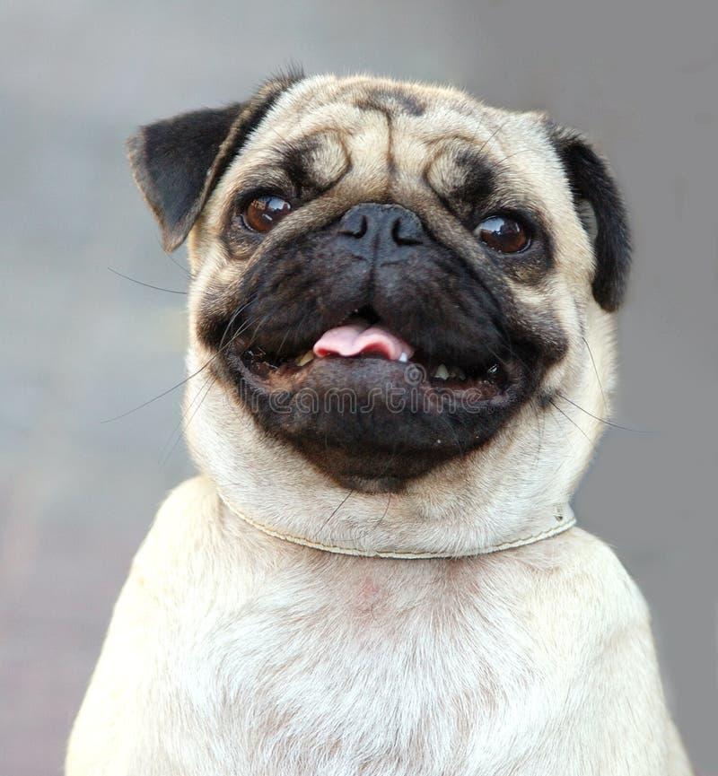 Pug portret stock fotografie