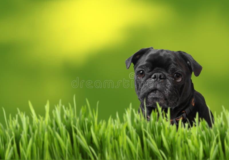 Pug preto com natureza imagens de stock royalty free