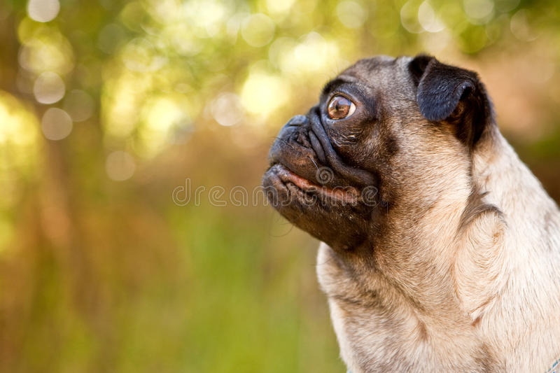 Pug profile. Profile of tan pug in the forest royalty free stock image