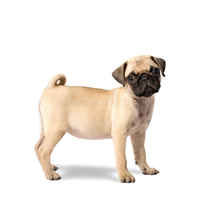 Download Pug puppy stock photo. Image of puppy, portrait, white - 15836412