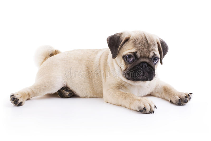 Pug puppy. Lying on a white background