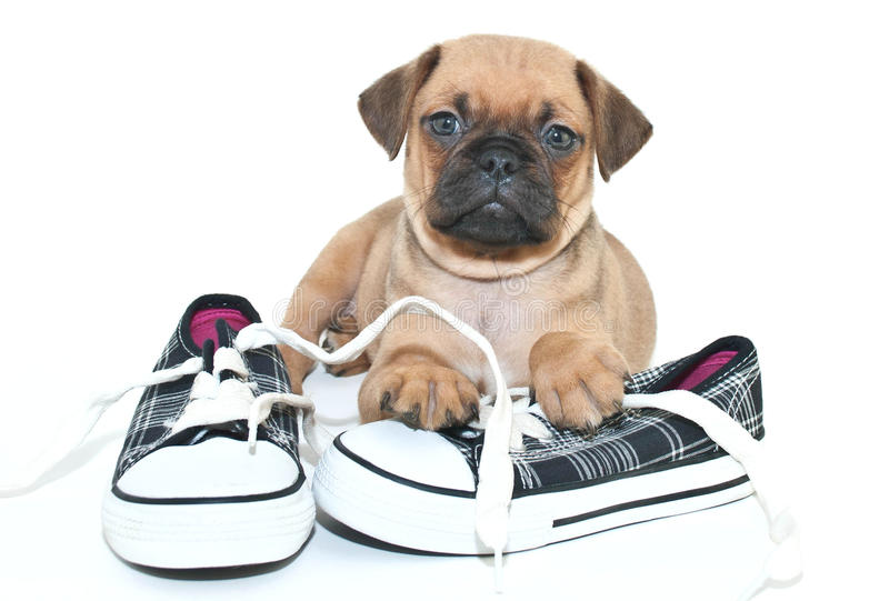 Pug puppy royalty-vrije stock afbeelding