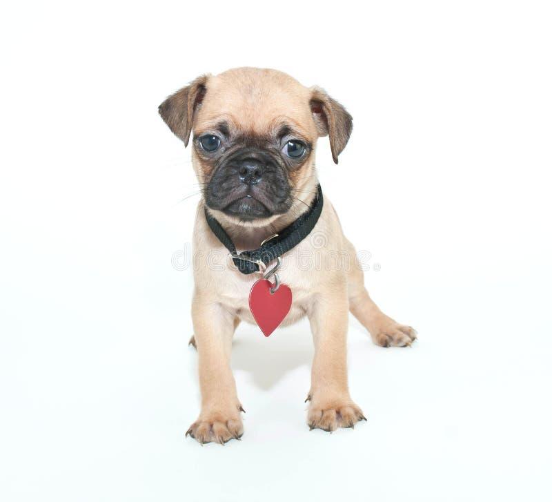 Pug puppy royalty-vrije stock fotografie