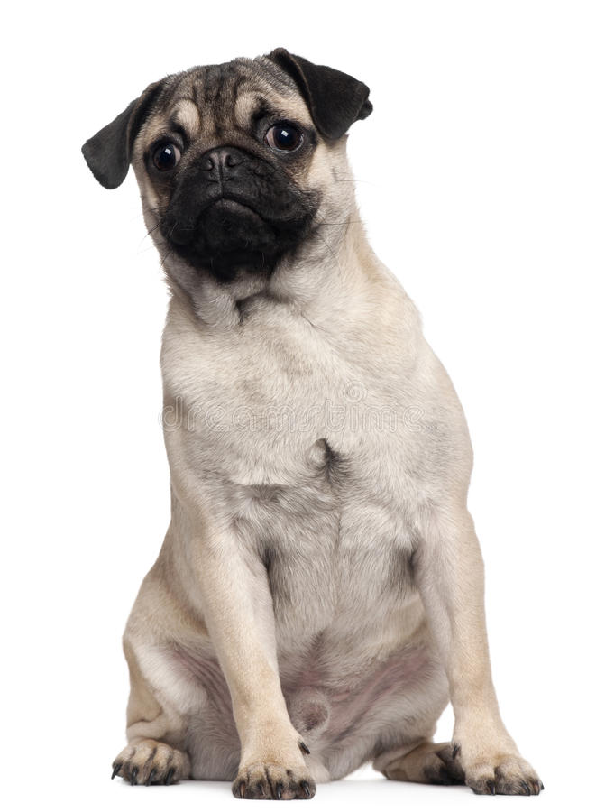 Download Pug Puppy, 6 Months Old, Sitting Stock Photo - Image: 17598560