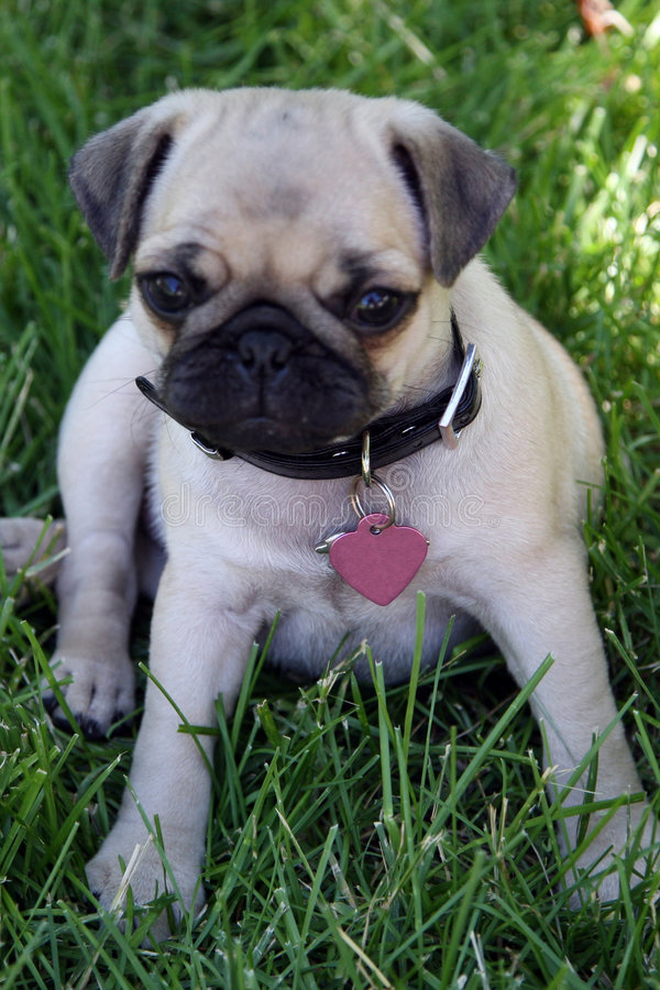 Pug puppy. A cute little pug dog puppy sitting in the grass outdoors royalty free stock photos