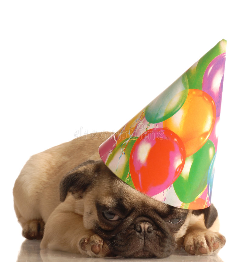 Pug puppy with birthday hat. Fawn pug puppy wearing birthday hat isolated on white background royalty free stock photography