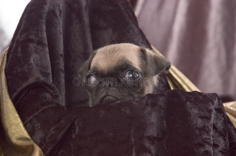 Download Pug Puppy Close Up stock photo. Image of mammal, puppy, animal - 18484