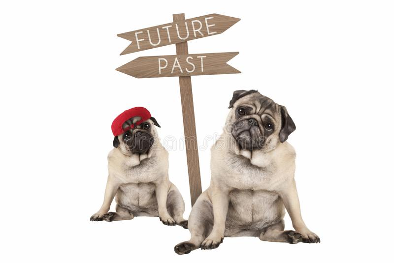 Pug puppy dog and aged animal sitting next to signpost with text past and future. Isolated on white background royalty free stock photos