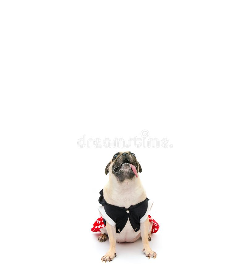 Pug puppy dog in costume dress sitting with tongue sticking out and looking up, isolated on white background with copy space for stock photo