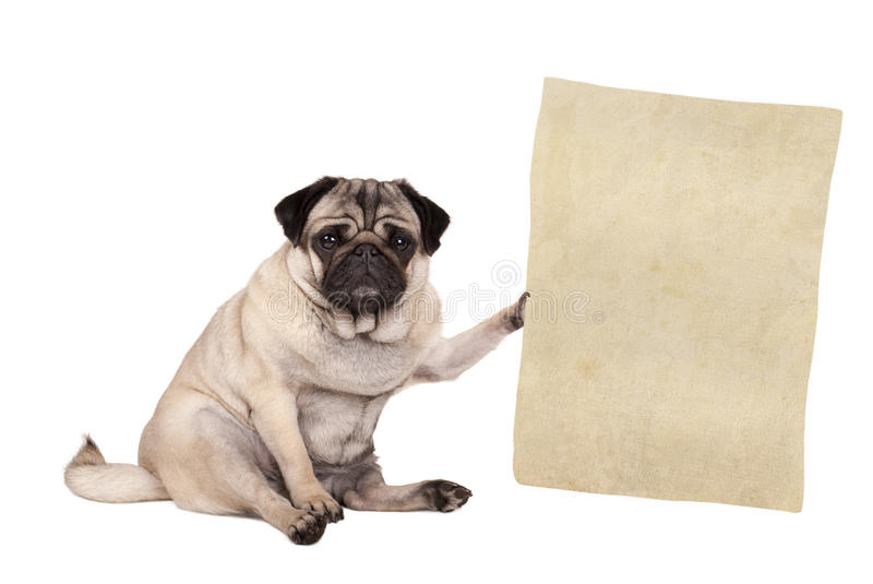 Pug puppy dog sitting down, holding paper scroll, isolated on white background stock images
