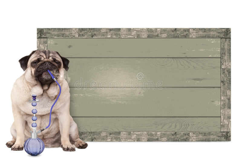 Pug puppy dog smoking shisha water pipe, sitting next to vintage wooden sign, on white background stock image