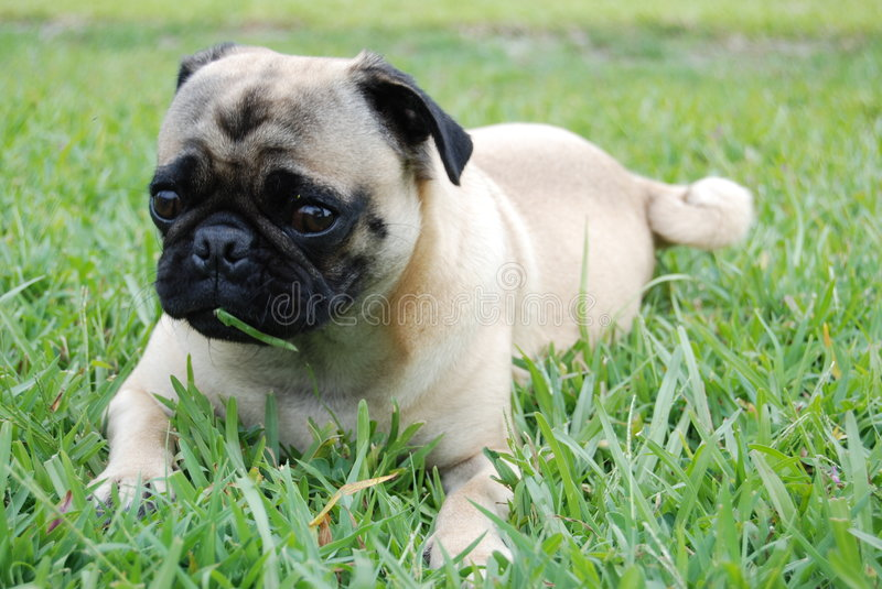 Pug Puppy Eating Grass royalty free stock images