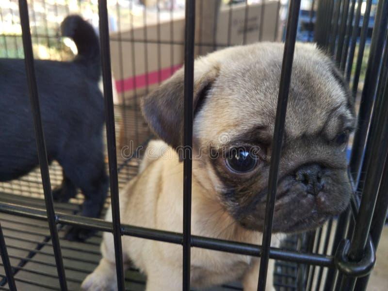 Pug puppy in een kooi stock foto