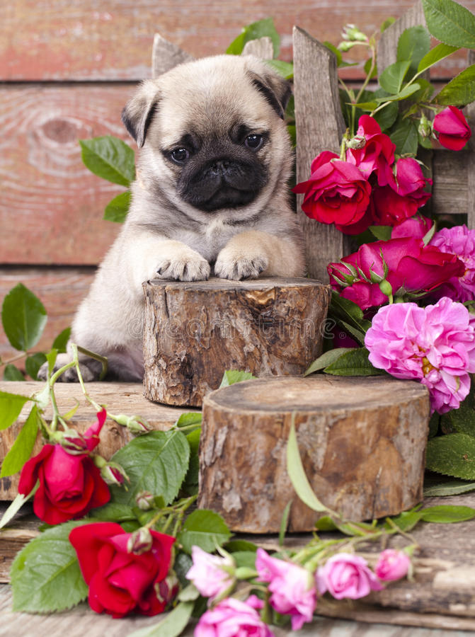 Pug puppy and flower roses stock photography