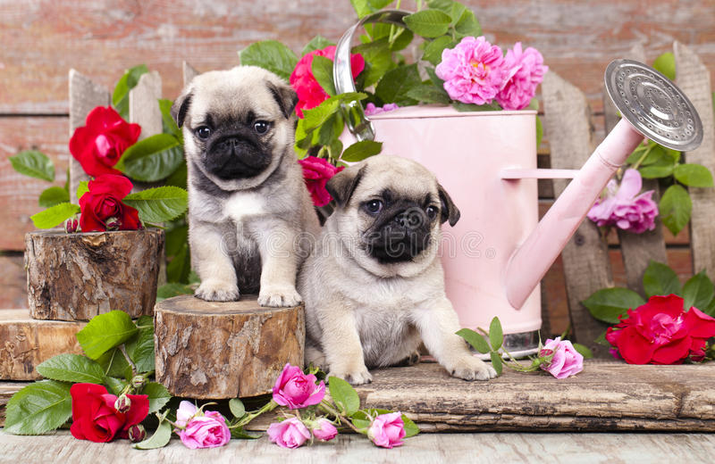 Pug puppy and flower roses royalty free stock photo
