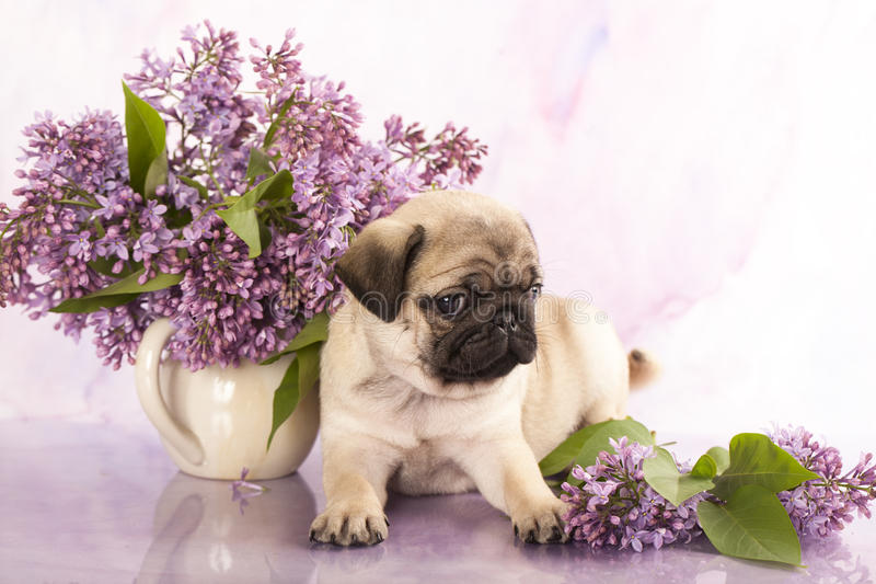 pug puppy and flowers royalty free stock photo