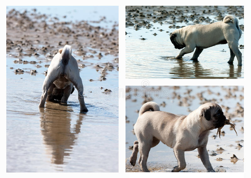 Pug Puppy Hunting Collage Stock Photos