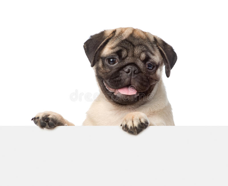 Pug puppy looking at camera from behind empty board. isolated stock photo