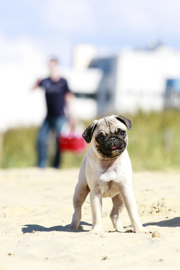Download Pug puppy outdoor portrait stock image. Image of muzzle - 22391359