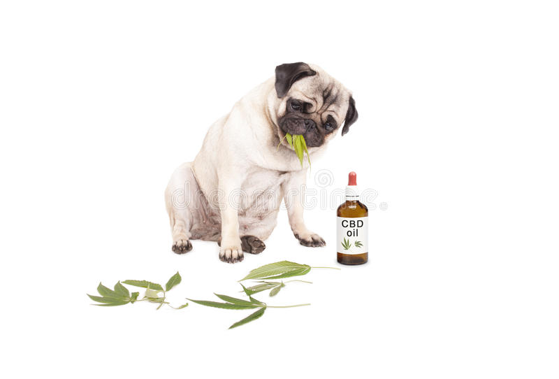 Pug puppy pet dog eating weed, Cannabis sativa, leaves sitting next to dropper bottle of CBD oil for animals, isolated on whi. Cute pug puppy pet dog eating weed royalty free stock photo