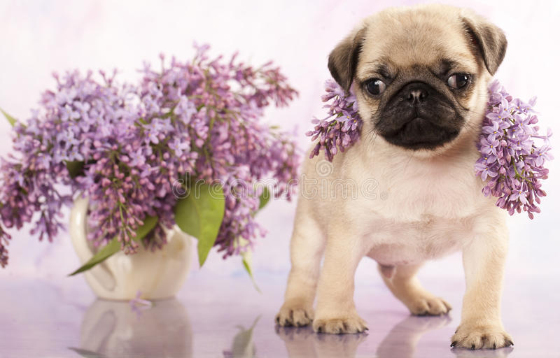 Pug puppy and spring lilas flowers royalty free stock photo