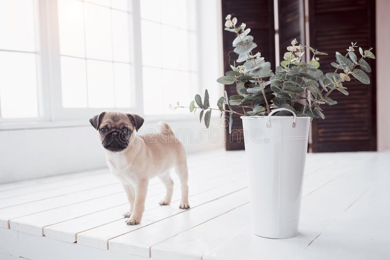 Pug puppy standing and looking at the camera stock photography