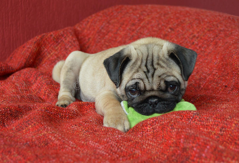 Pug puppy with toy royalty free stock photo