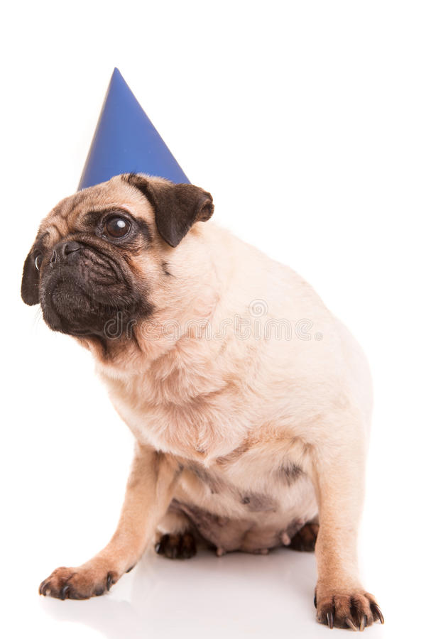 Pug. Puppy wearing a festive hat, isolated over a white background stock image