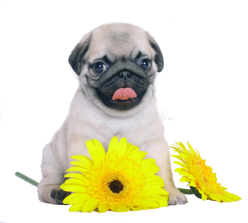 Pug puppy with yellow chrysanthemums. Puppy with yellow flowers isolated on white background royalty free stock photography