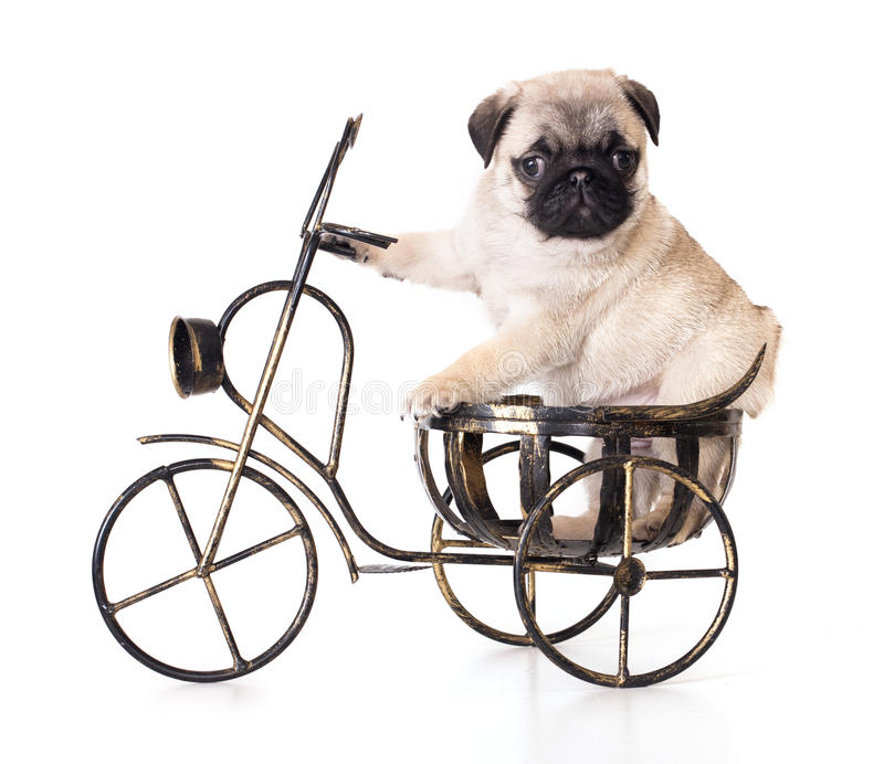 Pug purebred puppy stock photography