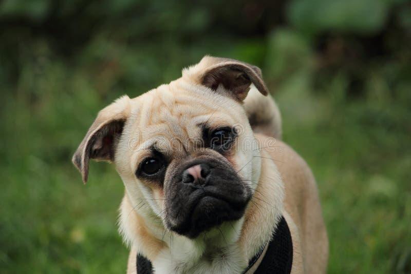 Pug-Quer-Jack Russell-Welpe stockfotografie