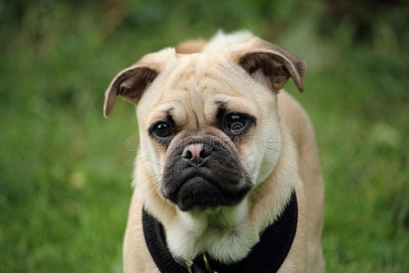 Pug-Quer-Jack Russell-Welpe stockbilder