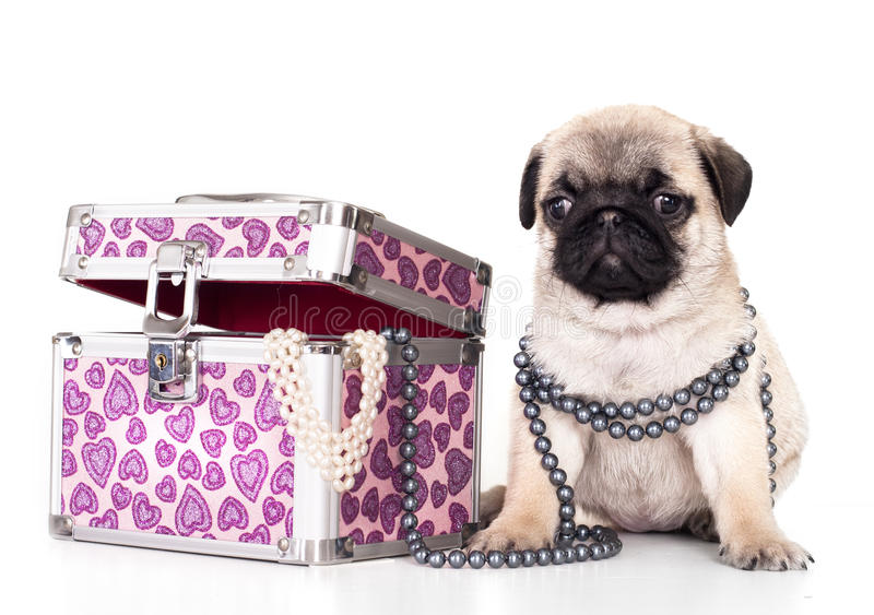 Pug rasecht puppy royalty-vrije stock afbeelding