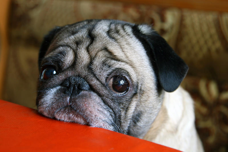 Pug with sad eyes. Sitting at the table