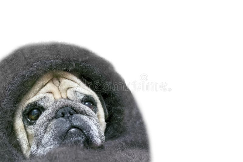 Pug with a sad look, wrapped in a shawl. Isolated on white background. copy space. Dog shawl blanket covered for lifestyle design stock images