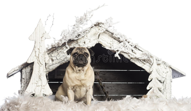 Download Pug Sitting In Front Of Christmas Nativity Scene Stock Photo - Image: 28582950