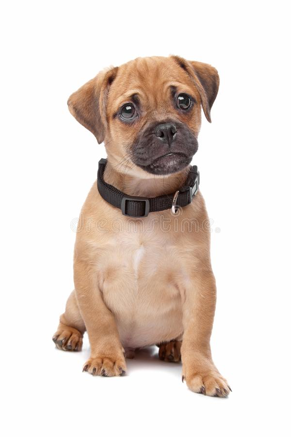 Pug Spaniel mix breed dog. Pug and Cavalier King Charles Spaniel mixed breed puppy dog wearing a black collar against a white background royalty free stock photography