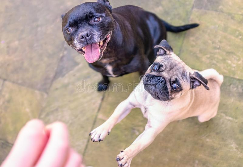 Pug and Staffordshire bull terrier dogs waiting for a treat royalty free stock images