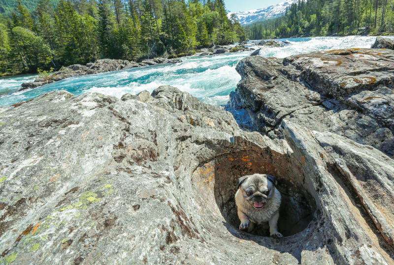 Pug stuck in rock hole royalty free stock image
