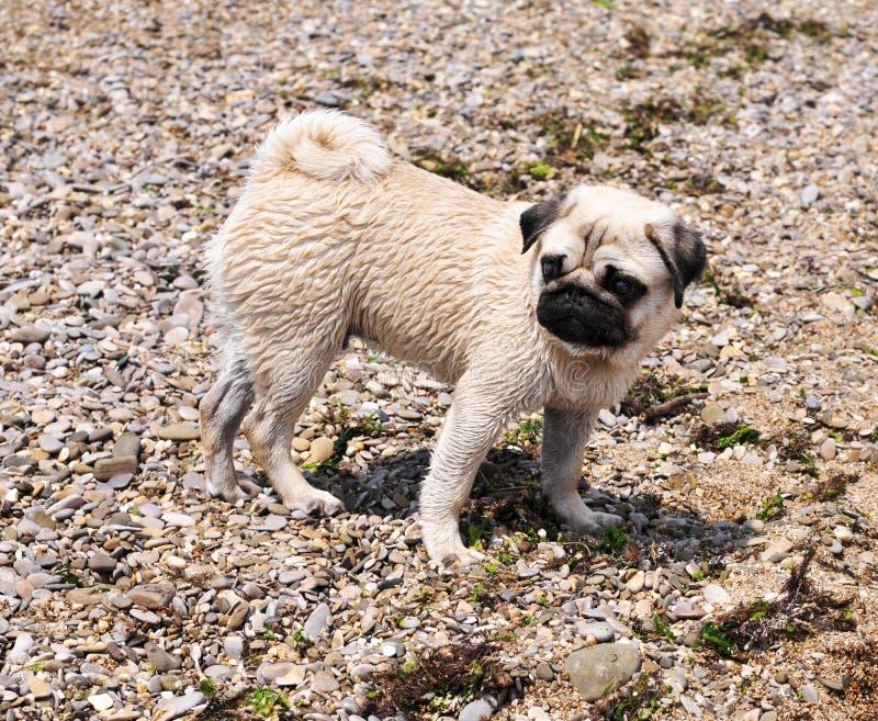 Pug sulla spiaggia fotografie stock