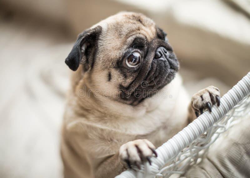 Pug triste com os olhos de pedido de grito Emoções bonitas do cão de estimação fotos de stock royalty free
