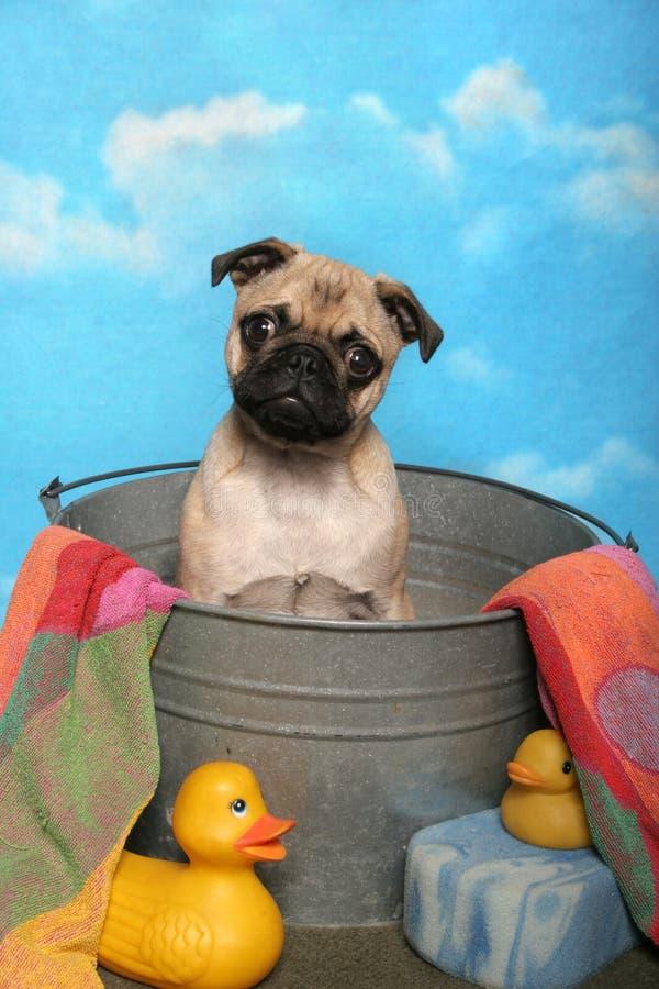 Pug in una vasca di bagno fotografia stock