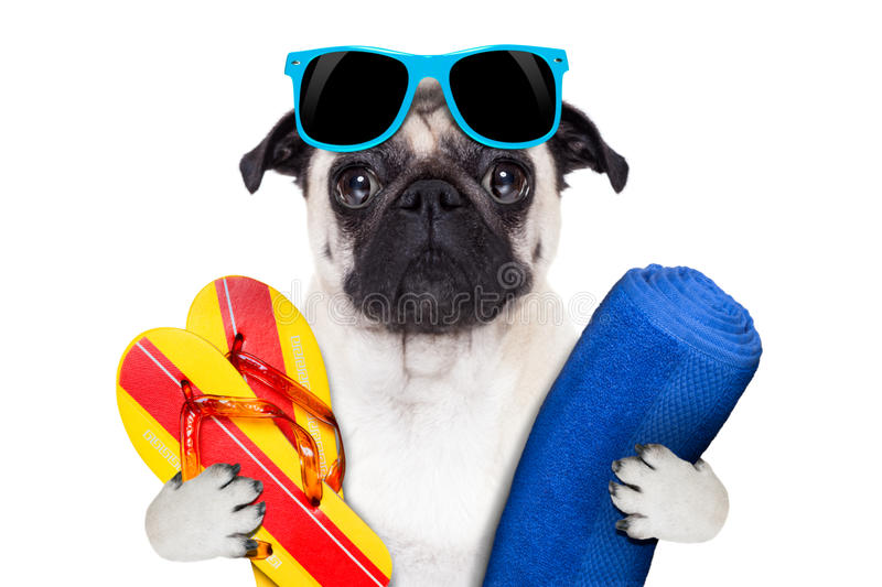 Pug vacation. Pug dog on summer vacation with flip flops and a big blue towel wearing fancy blue sunglasses royalty free stock photo