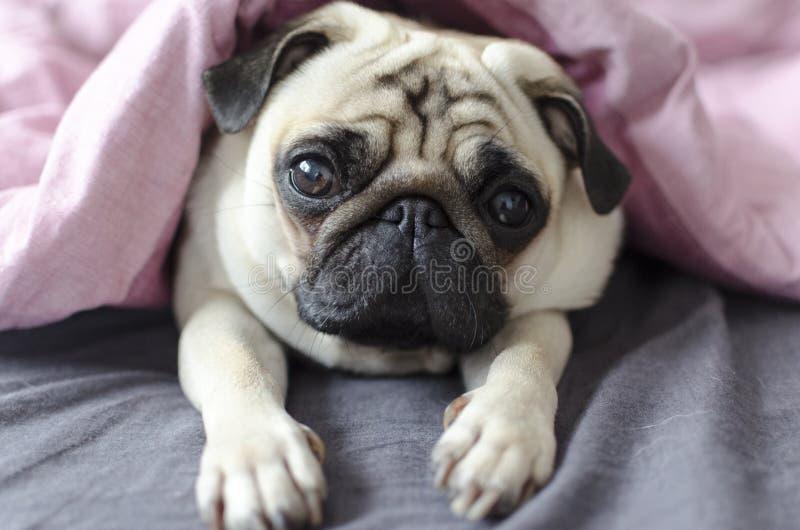 Pug van het hondras onder de roze deken royalty-vrije stock foto