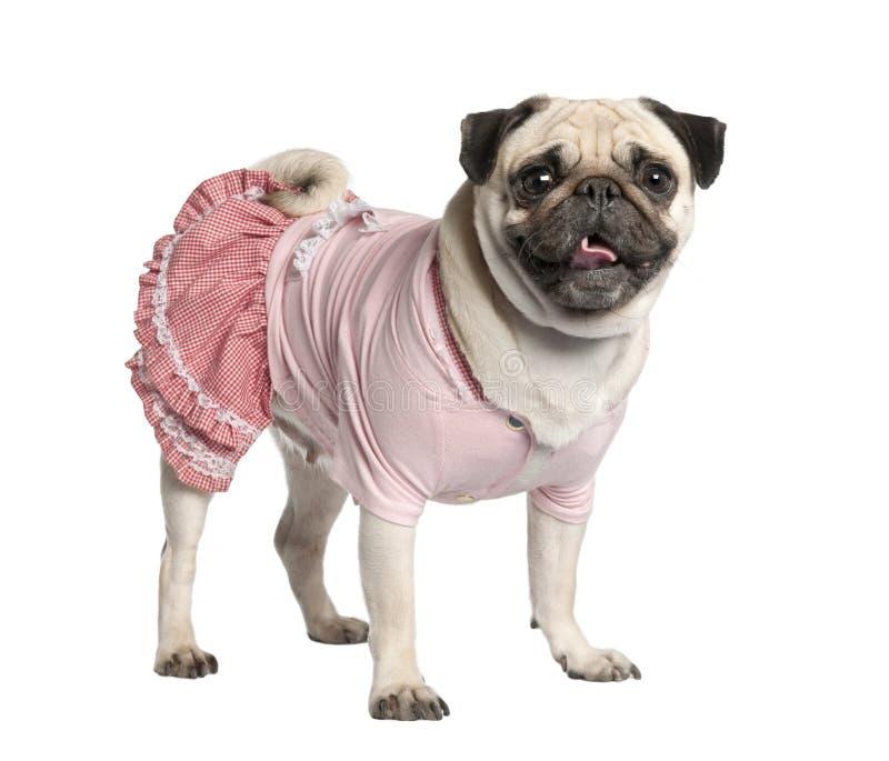 Pug vestido (4 anos) fotos de stock royalty free
