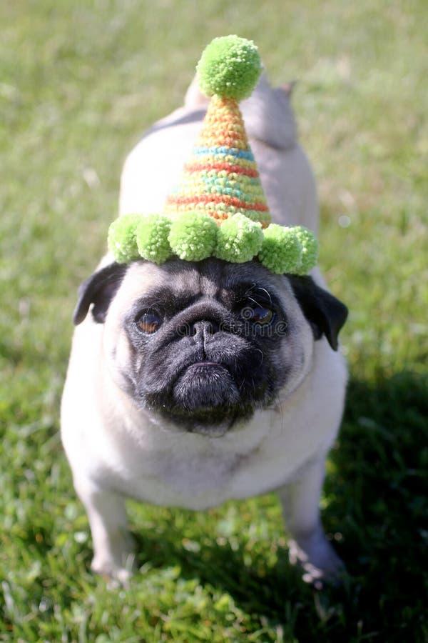 Pug wearing a birthday hat. Photo of a Pug dog wearing a birthday hat royalty free stock photo