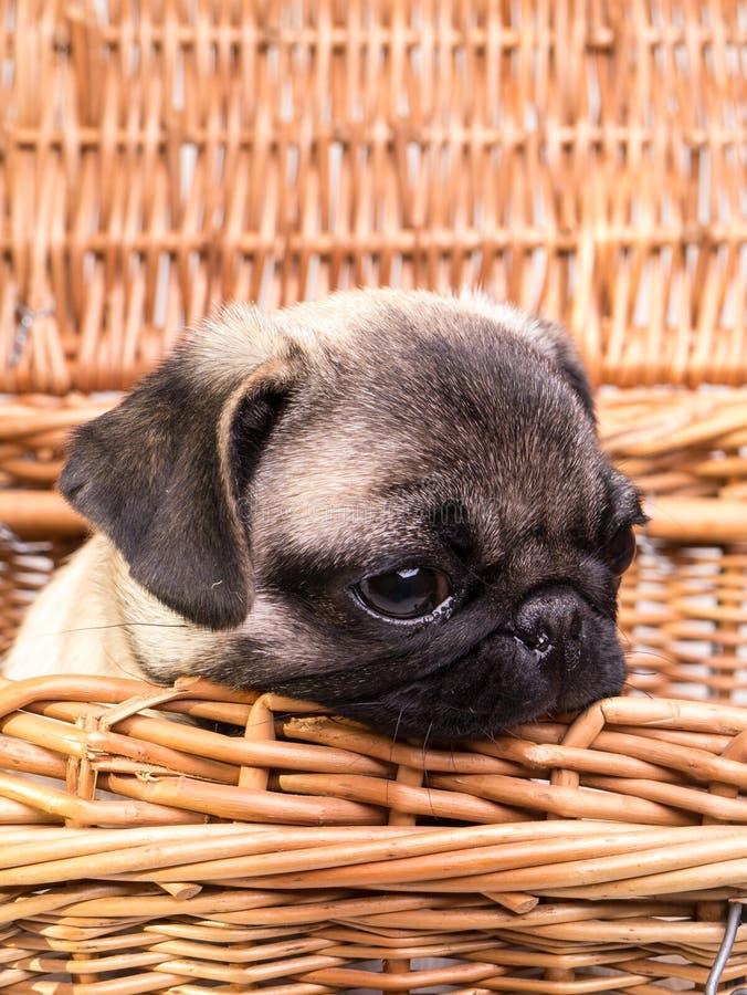 Pug-Welpe in einem Korb lizenzfreie stockfotos