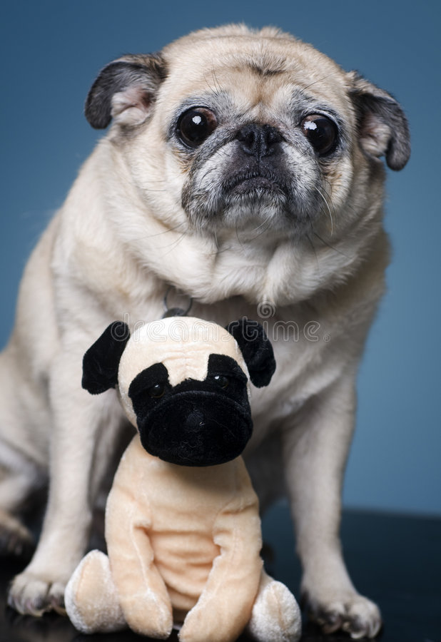 Free Pug With A Furry Friend Stock Photos - 6271883