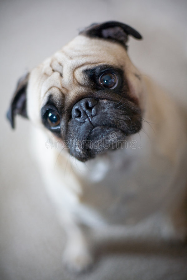 Free Pug With Inquisitive Look Royalty Free Stock Photography - 8309587